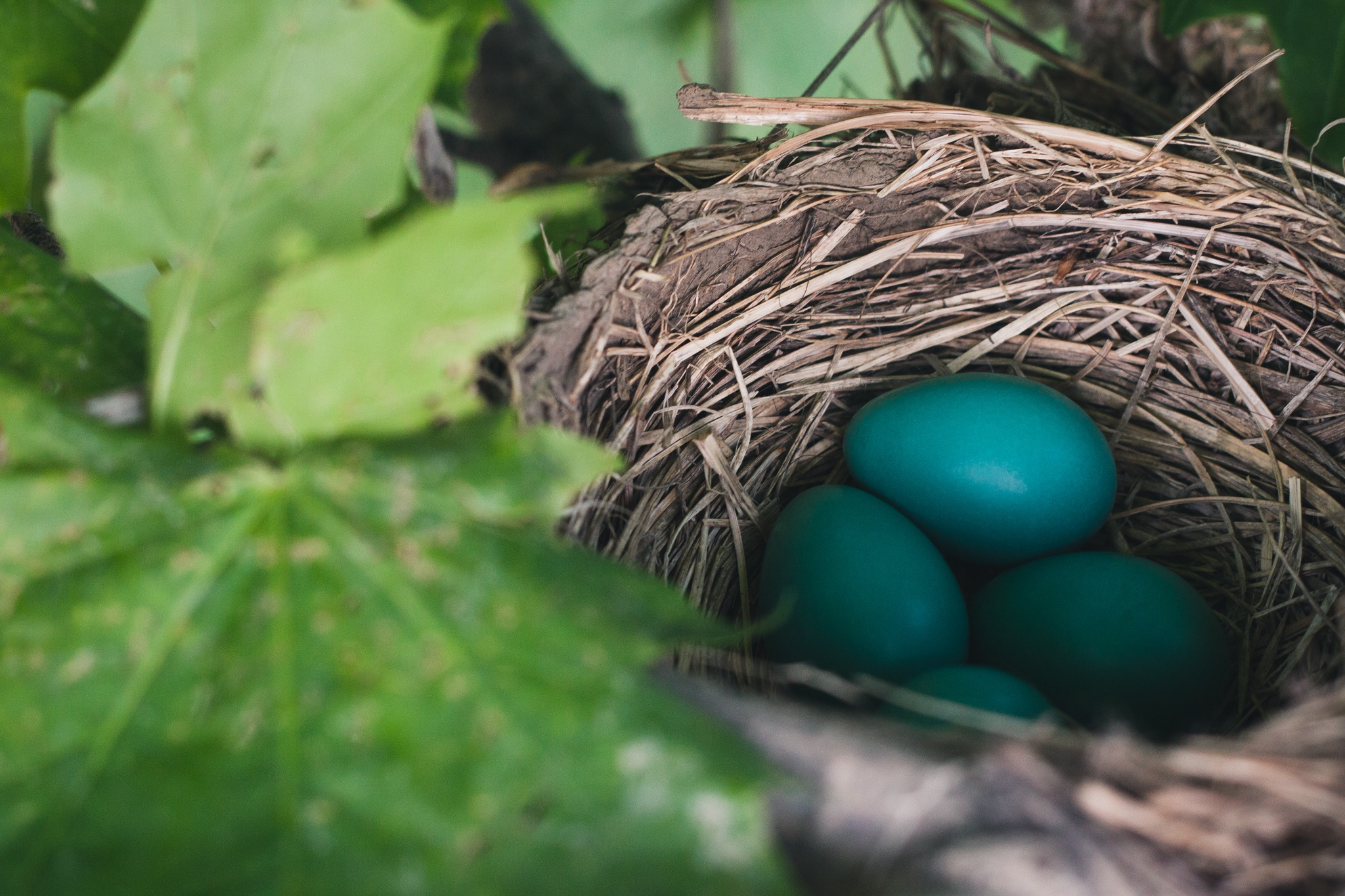 A nest with blue eggs